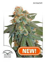 Dutch Passion Seeds Auto Orange Bud Feminized