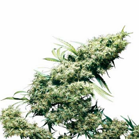 Lemon Amnesia Regular Cannabis Seeds by Archive Seeds