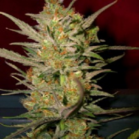 DNA Genetics Seeds Sweet Haze Feminised