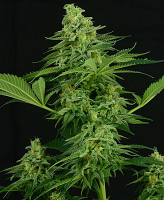 Critical Mass Collective Seeds Moonshine Mass Feminized