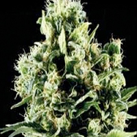 710 Genetics Seeds White Lady OG Feminised