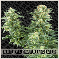 Zambeza Seeds Autoflowering Mix Feminized