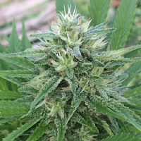 ACE Seeds Panama x Bangi Haze Feminized