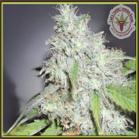 Dr Krippling Seeds Kali's White Shadow Feminized (PICK N MIX)