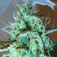 Medicann Seeds Black Afghani Kush Feminised