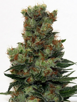 Ripper Seeds Ripper Badazz Feminized