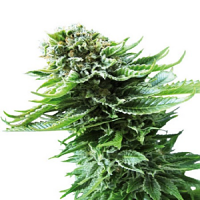 Sensi Seeds Northern Lights Auto Feminized