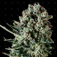 Genofarm Seeds Farm Cheese Feminized