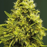Victory Seeds White Widow Feminized