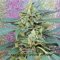 Dr Krippling Seeds Jammy Auto Feminized