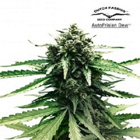Dutch Passion Seeds AutoFrisian Dew Feminized