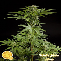 Philosopher Seeds White Yoda Auto Feminized