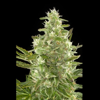 Bulk Seeds Auto Critical+ Feminized