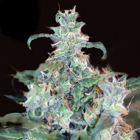 Kera Seeds Amsterdam Cheese Feminised
