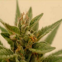DNA Genetics Seeds Connie Chung Regular