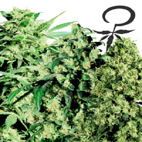 White Label Seed Company Feminized Mix Feminized
