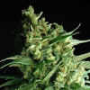 Sagarmatha Seeds Double Bubbleberry Feminised