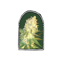 The KushBrothers Seeds Mass Kush Feminized (PICK N MIX)