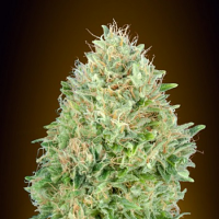 Pineapple Glue - Feminized - Advanced Seeds