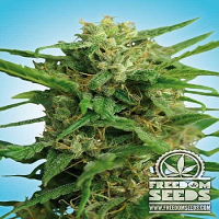 Freedom Seeds Smokey Bear Auto Feminized