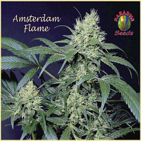 Paradise - Amsterdam Flame Regular