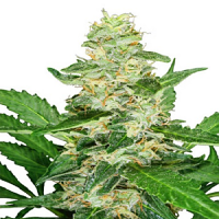 Sensi Seeds Super Skunk Automatic Feminized