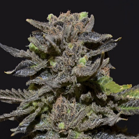 CBD Seeds Magma Feminized