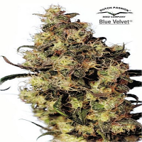 Dutch Passion Seeds Blue Velvet Feminized