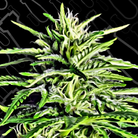 Critical Mass Collective Seeds Auto Massassin Feminized (PICK N MIX)
