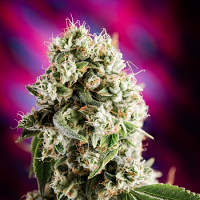 Homegrown Natural Wonders Seeds Quantum Kush Regular