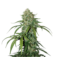 Seed Stockers Seeds CBD 1:1 Silver Lime Haze Auto Feminized