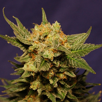 Kannabia Seeds Big Band Feminized