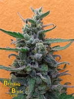 Breaking Buds Seeds Brownie Auto Feminized