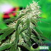 Bomb Seeds Buzz Bomb Feminized