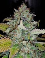 Mephisto Genetics Seeds Deep Blue C Auto Feminized