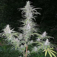 British Columbia Seeds Cali Miss Regular