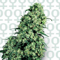 Skunk #1 – Feminized – Sensi Seeds