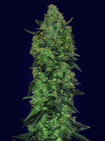 Advanced Seeds Auto Skunk Mass Feminized