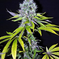 CBD Crew Seeds CBD Yummy Feminized