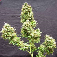 Flying Dutchmen Seeds Afghanica Regular