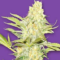 Flying Dutchmen Seeds Arctic Sun Regular