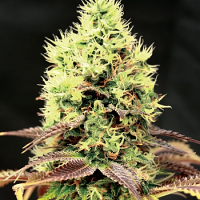 Garden of Green Seeds Kush'N'Cookies CBD Feminized