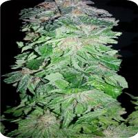 Auto Blueberry Express - Feminized - Dispensario Seeds