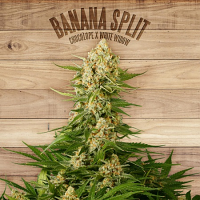 The Plant Organic Seeds Banana Split Feminized