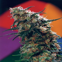 Homegrown Fantaseeds Haze Feminized