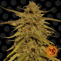 Barney's Farm Seeds Pineapple Haze™ Regular