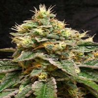 Reserva Privada Seeds Confidential Cheese Feminized