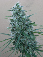 Ace Seeds Orient Express Feminized (PICK N MIX)