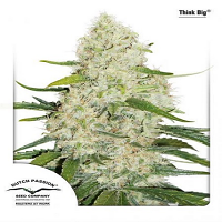 Dutch Passion Seeds Think Big Auto Feminized