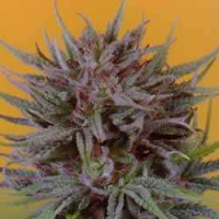 Dutch Passion Seeds Trance Feminized